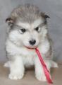 Высокопородные щенки Аляскинского Маламута с редким геном!